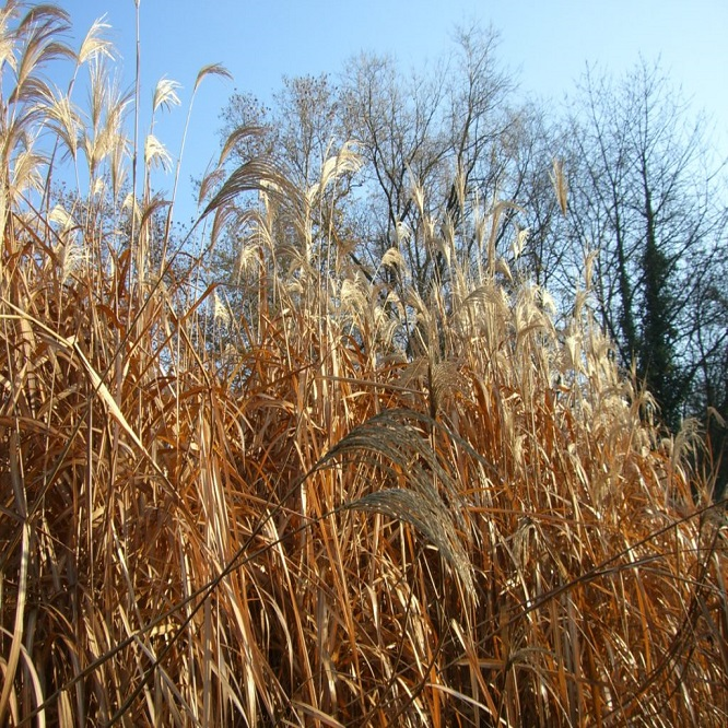 Miscanthus Project